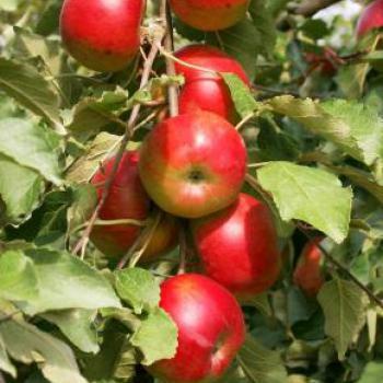 Ovocné dřeviny